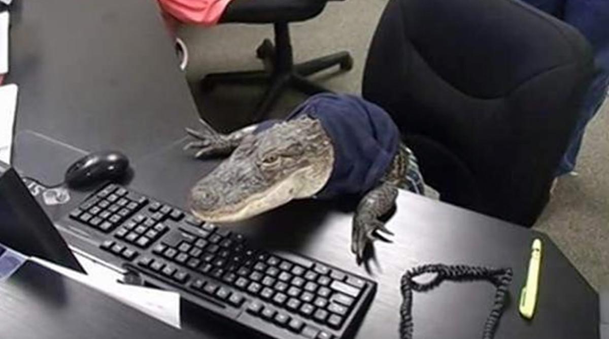 फ्लोरिडा: ऑफिस में मगरमच्छ को काम करता हुआ देख हैरान हुए लोग, कहा- बहुत क्यूट, देखें तस्वीर