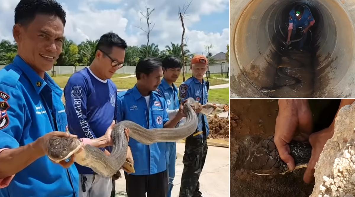 लंबे ऑपरेशन के बाद नाले के अंदर से निकाला गया 13 फीट लंबा किंग कोबरा, देखें खतरनाक सांप का वीडियो