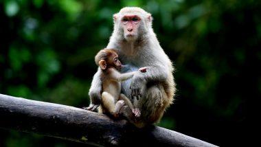 उत्तर प्रदेश: तीन युवकों ने बंदर की गोली मारकर की हत्या, शामली में तनाव का माहौल