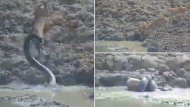 पानी पीने गया था हिरन, तालाब में घात लगाए बैठा था अजगर, उसके बाद जो हुआ..देखें वायरल वीडियो