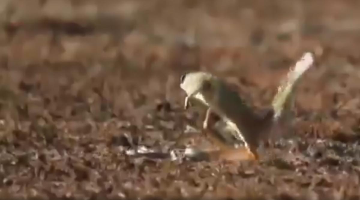 किंग कोबरा ने नेवले पर मारा ऐसा झपट्टा, उसके बाद जो हुआ... देखें वायरल वीडियो
