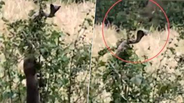 महाराष्ट्र: तीन नेवलों ने किंग कोबरा पर किया अटैक, बुरी तरह से जख्मी हुआ सांप, देखें वायरल वीडियो