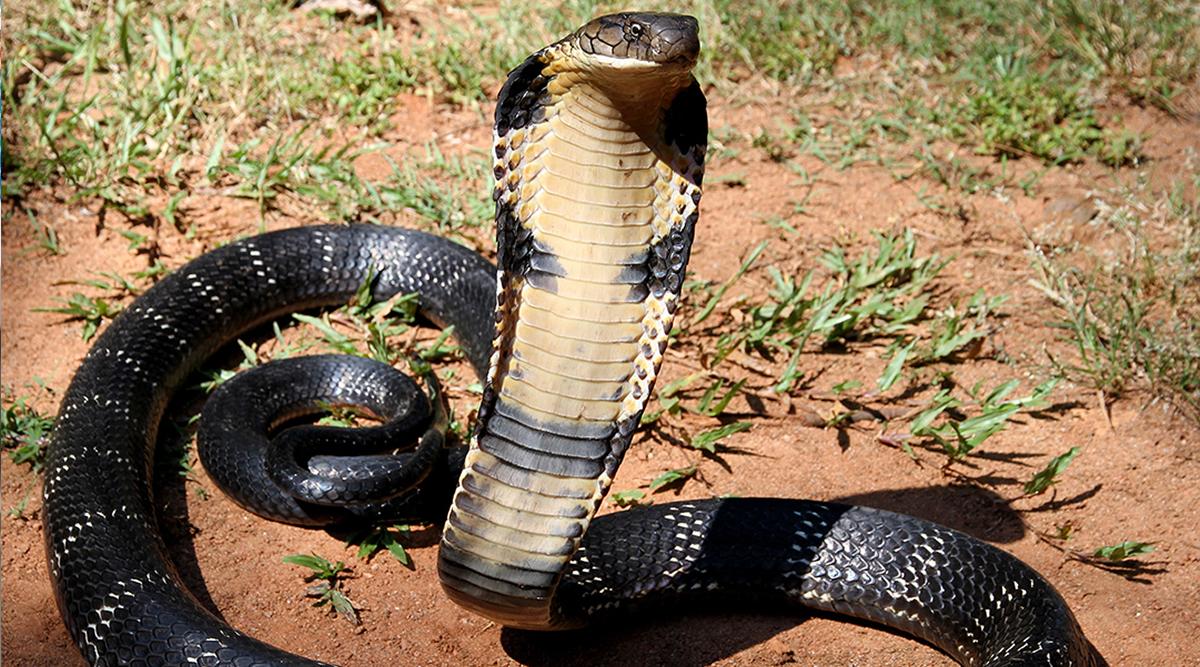 उत्तर प्रदेश: भड़के किंग कोबरा ने दो किलोमीटर तक शख्स का किया पीछा, कुंडली मारकर हथियाई बाइक
