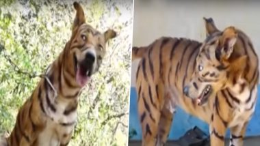 कर्नाटक: किसान ने फसल को बंदरों से बचाने के लिए कुत्ते को बाघ की तरह रंगा, देखें वीडियो