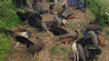 उत्तर प्रदेश: बिजनौर जिले में 4 मोर की हुई मौत, कई पक्षी हुए बेहोश