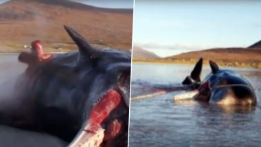 समुद्र किनारे मिली मरी हुई विशाल व्हेल मछली, 100 किलो प्लास्टिक खाने की वजह से फटा पेट, देखें हैरान कर देनेवाला वीडियो