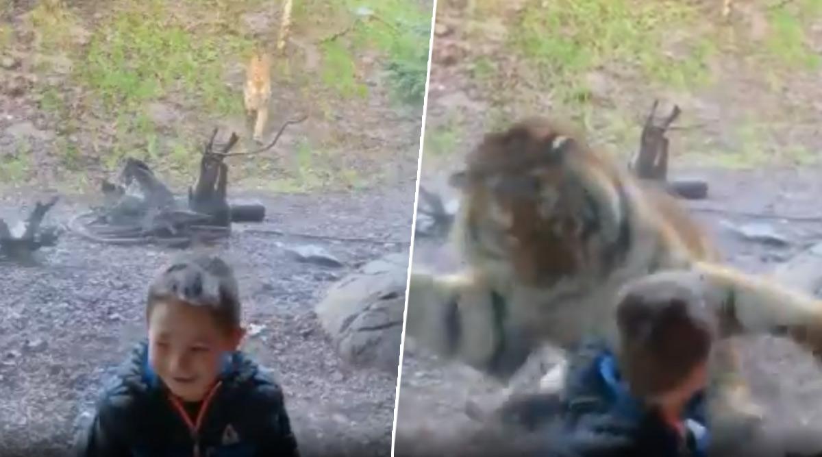 चिड़ियाघर में टाइगर ने छोटे से लड़के पर मारा झपट्टा, उसके बाद जो हुआ... देखें वायरल वीडियो