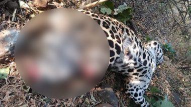 महाराष्ट्र: लालची शिकारियों ने काटे तेंदुए का सिर और पंजे, जंगल के सड़क किनारे मिली लाश, देखें तस्वीरें