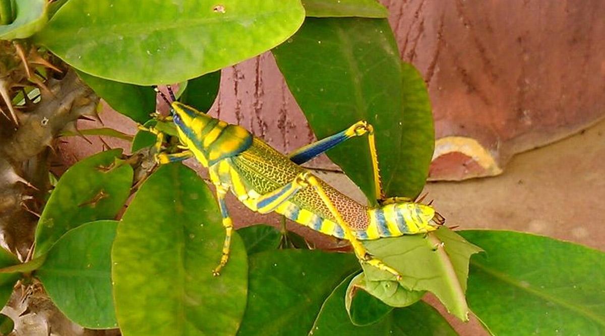 Locust Attack: देश में ऐसे होता है टिड्डी दल का हमला, 24 घंटे में 35 हजार लोगों का भोजन कर सकते है चट