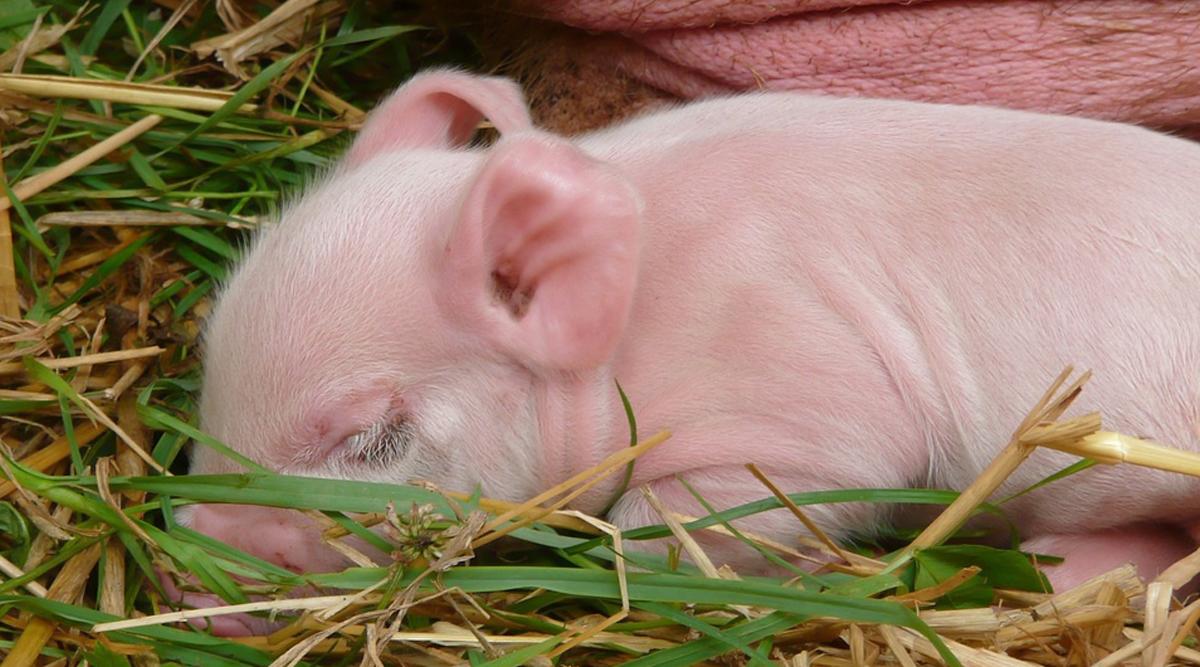 चीन: वैज्ञानिकों ने लैब में पैदा किए बंदर की Cells वाले दो हाइब्रिड सूअर