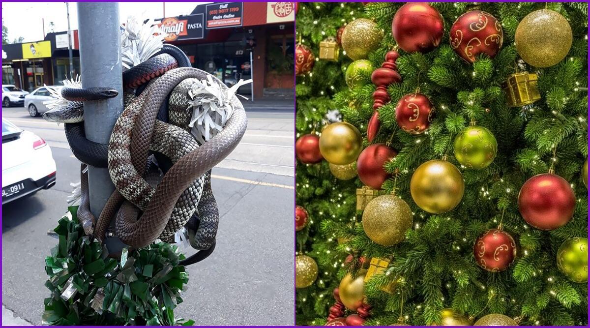 ऑस्ट्रेलिया: सड़क पर क्रिसमस ट्री के चारों ओर लिपटे हुए पाए गए दुनिया के सबसे जहरीले सांप, देखें तस्वीर