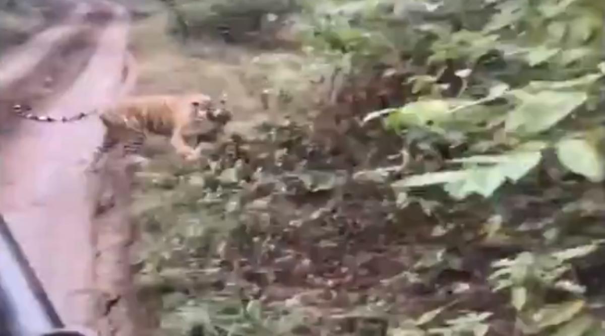 राजस्थान: जब सफारी राइड के दौरान पर्यटकों के पीछे पड़ गया बाघ, देखें सवाई माधोपुर के रणथंभौर नेशनल पार्क का यह वायरल वीडियो