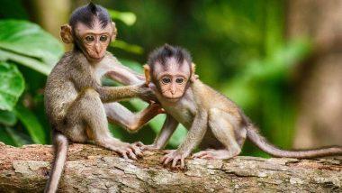 Monkey Day 2019: एक मजाक के रूप में हुई थी 14 दिसंबर को मंकी डे मनाने की शुरुआत, जानें इसका इतिहास और बंदरों से जुड़े रोचक तथ्य