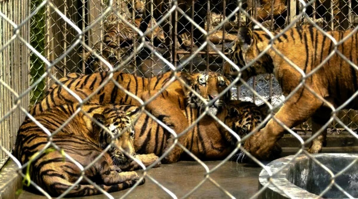 बिहार: वाल्मीकिनगर के अभयारण्य क्षेत्र में बढ़ी बाघों की संख्या, पर्यटकों को आकर्षित करने में जुटी सरकार