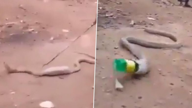 प्लास्टिक की बोतल निगलते ही किंग कोबरा की हालत हुई खराब, लोगों ने ऐसे की इस जहरीले सांप की मदद, देखें वीडियो