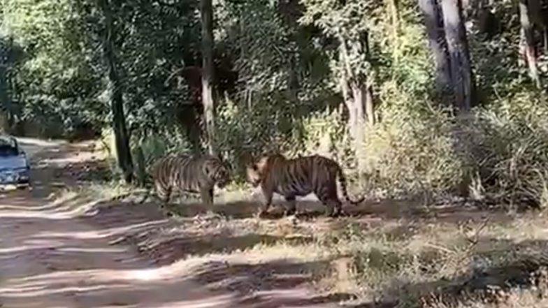 मध्यप्रदेश: कान्हा टाइगर रिजर्व में आपस में भिड़े दो बाघ, वीडियो में देखें क्या हुआ अंजाम