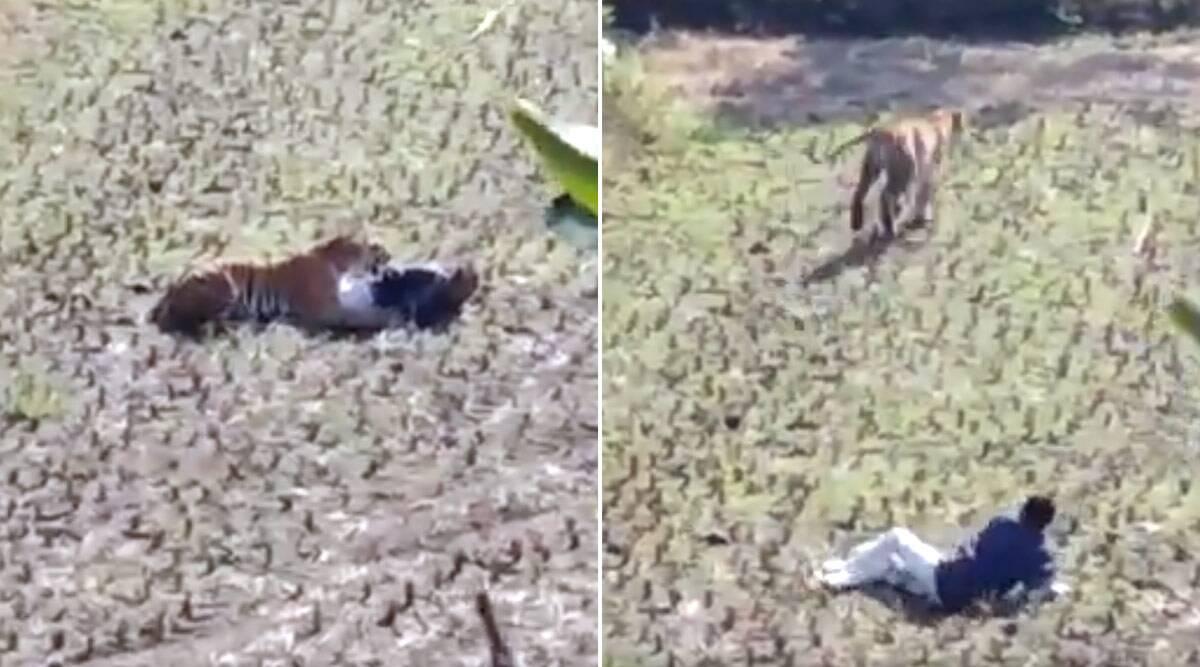 महाराष्ट्र: मौत के मुंह से बाल-बाल बचा शख्स, बाघ से अपनी जान बचाने के लिए किया मरने का नाटक, देखें वायरल वीडियो