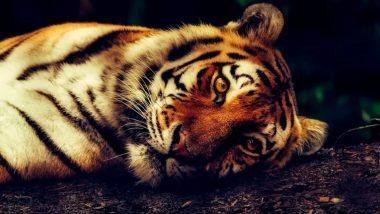 झारखंड में बूढ़ी बाघिन की मौत पर हड़कंप, अटकलों का बाजार तेज