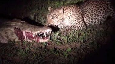 मगरमच्छ के मुंह से तेंदुए ने बड़ी ही आसानी से छिना मांस, देखें हैरान कर देने वाला वाइल्ड लाइफ वीडियो
