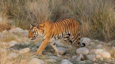 उत्तराखंड: शिकार छोड़ कॉर्बेट टाइगर रिजर्व में नदी किनारे प्लास्टिक खाते दिखे बाघ, प्रशासन के उड़े होश, दिए जांच के आदेश
