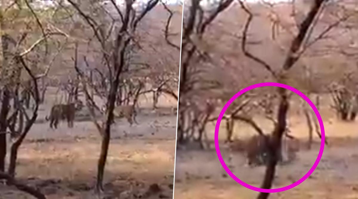 राजस्थान: रणथंभौर नेशनल पार्क में प्यार के बीच लड़ाई करते दिखे दो बाघ, वीडियो हुआ वायरल