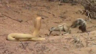 किंग कोबरा और गिलहरी के बीच हुई जबरदस्त लड़ाई, जान दांव पर लगाकर सांप से की अपने बच्चों की रक्षा, देखें वायरल वीडियो
