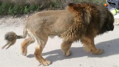 जब सड़क पर सैर करते कुत्ते को लोग समझ बैठे शेर और घबराकर पुलिस से कर दी शिकायत, देखें वायरल तस्वीर
