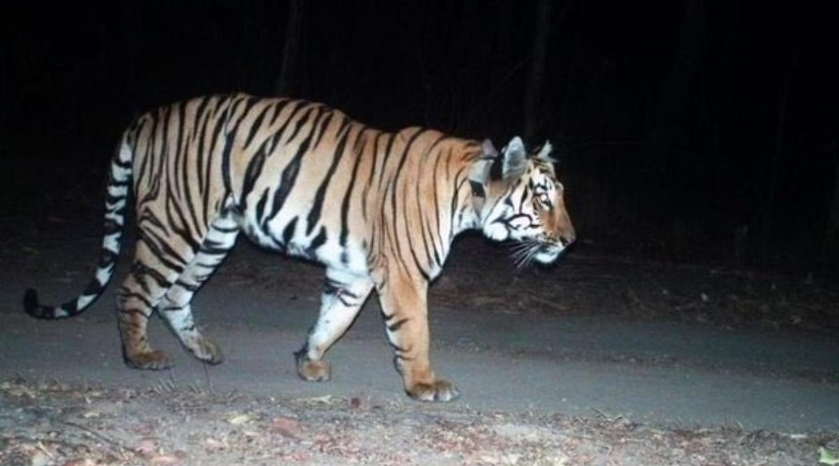 पार्टनर की तलाश में 2000 किलोमीटर तक पैदल चला बाघ, तस्वीरें सोशल मीडिया पर वायरल