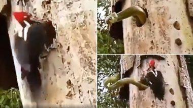 कठफोड़वा के घोसले में घुसा था सांप, अपने बच्चों को बचाने के लिए उससे भिड़ गई यह चिड़िया, वीडियो हुआ वायरल