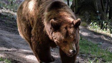 आंध्र प्रदेश: लॉकडाउन के बीच तिरुमाला की सड़कों पर सैर करते दिखे भालू, वायरल वीडियो देख आप भी रह जाएंगे दंग