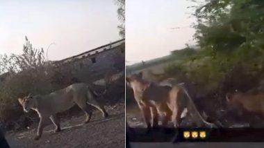 लॉकडाउन के बीच राजधानी दिल्ली के धौला कुआं में सड़कों पर टहलने लगे शेर और शावक? जानें वायरल वीडियो पर क्या कहते हैं विशेषज्ञ