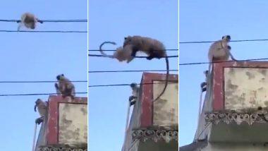 नन्हे लंगूर को गिरने से बचाने के लिए उसकी मां ने किया कुछ ऐसा... दिल छू लेने वाला वीडियो हुआ वायरल
