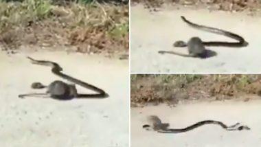 नन्हे चूहे की जान बचाने के लिए सांप से भिड़ गई चुहिया, दोनों की लड़ाई का हैरान करने वाला वीडियो हुआ वायरल