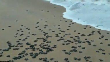 Olive Ridley Turtles: ओडिशा के तट पर रेत में दबे घोंसलों से बाहर निकल कर समुद्र में जाते दिखे सैकड़ों ओलिव रिडले कछुए, वीडियो हुआ वायरल