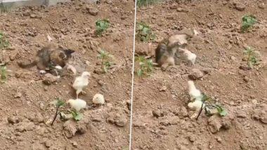 बिल्ली ने चूजों के झुंड पर किया हमला तो एक छोटे चूजे ने ऐसे सिखाया सबक, वीडियो हुआ वायरल (Watch Video)