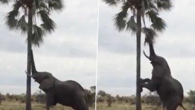 जब खाने के लिए पेड़ पर चढ़ने की कोशिश करने लगा भूख से बेहाल हाथी, तब हुआ कुछ ऐसा... देखें वायरल वीडियो