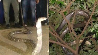 ओडिशा: सड़क के किनारे मिला 12 फीट लंबा किंग कोबरा, जहरीले सांप को रेस्क्यू कर जंगल में छोड़ा गया, देखें वायरल तस्वीर