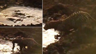 तालाब पर मछली पकड़ने के लिए पहुंचा भूखा तेंदुआ, सोशल मीडिया पर वायरल हो रहा है Fishing का यह वीडियो