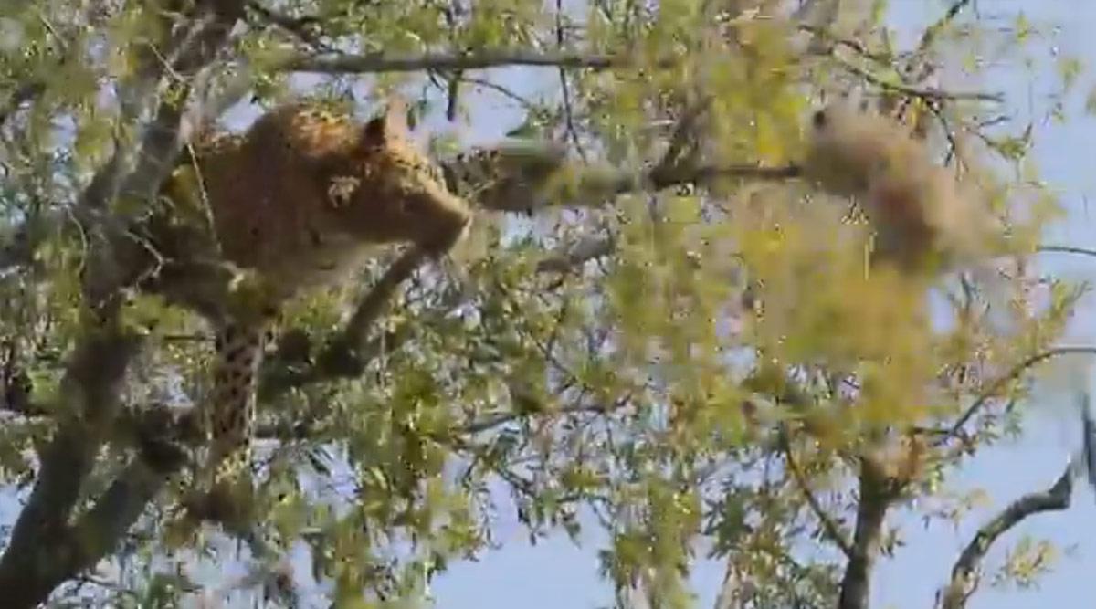 तेंदुए ने बंदर को पेड़ से गिराने की कोशिश की, ताकि उसे खाकर मिटा सके अपनी भूख, वीडियो हुआ वायरल