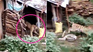 अचानक घर में जा घुसा बाघ, लोगों के उड़े होश, पूरे गांव में मची अफरा-तफरी (Watch Viral Video)