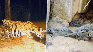 अच्छी खबर! मध्य प्रदेश के बांधवगढ़ टाइगर रिजर्व में बाघ के 6 बच्चों और तेंदुए के 3 बच्चों का हुआ जन्म, देखें तस्वीरें
