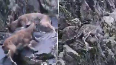 हिम तेंदुए ने चट्टानी इलाके में दूर तक किया शिकार का पीछा, फिर जो हुआ उसे देख आप भी हो जाएंगे हैरान (Watch Viral Video)