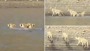 गुजरात: नदी में तैरती हुई 3 शेरनियों का वीडियो हुआ वायरल, शेरों से जुड़े इन रोचक तथ्यों को जानकर आप भी हो जाएंगे हैरान (Watch Viral Video)