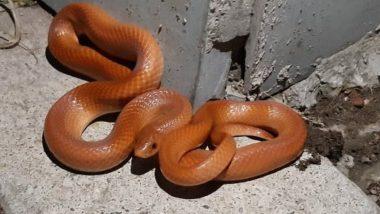 Red Coral Kukri Snake: उत्तर प्रदेश के दुधवा नेशनल पार्क में दिखा दुर्लभ लाल कुकरी सांप, इंटरनेट पर वायरल हुई तस्वीर