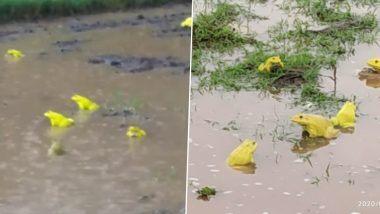 Yellow Frogs: भारी बारिश के बीच वसई और बुलढाणा के खेतों में Mating करते दिखे दुर्लभ पीले मेंढक, देखें वायरल तस्वीरें और वीडियो