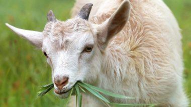 Baby Goat Born with Human-Face: गुजरात में इंसान की शक्ल लेकर जन्मा बकरी का बच्चा, लोग करने लगे पूजा