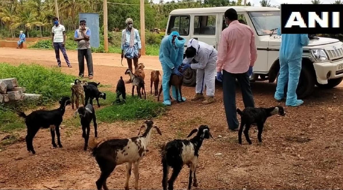कर्नाटक: चरवाहे में कोविड-19 संक्रमण की पुष्टि होने के बाद 47 बकरियों को किया गया क्वारेंटाइन