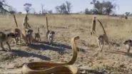 Cobra Fights With Meerkat Gang: जब किंग कोबरा को Meerkat गैंग ने दी चुनौती, सांप ने अकेले ऐसे किया उनका मुकाबला, जबरदस्त लड़ाई का वीडियो हुआ वायरल