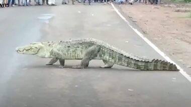 Crocodile Crossing Road: मध्य प्रदेश में हाइवे पर सड़क पार करता दिखा 10 फुट लंबा मगरमच्छ, इस नजारे को देखने के लिए लगा लोगों का जमावड़ा (Watch Video)