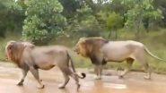 बरसात के बाद गिर के जंगल में राजसी अंदाज में एक साथ चलते दिखे शेर, वायरल वीडियो जीत लेगा आपका दिल (Watch Video)
